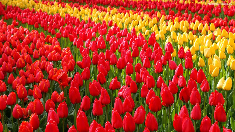 Как добраться до парка тюльпанов Кёкенхоф в Голландии