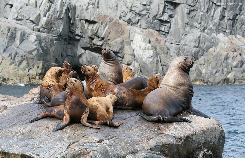 Колония тюленей на Камчатке