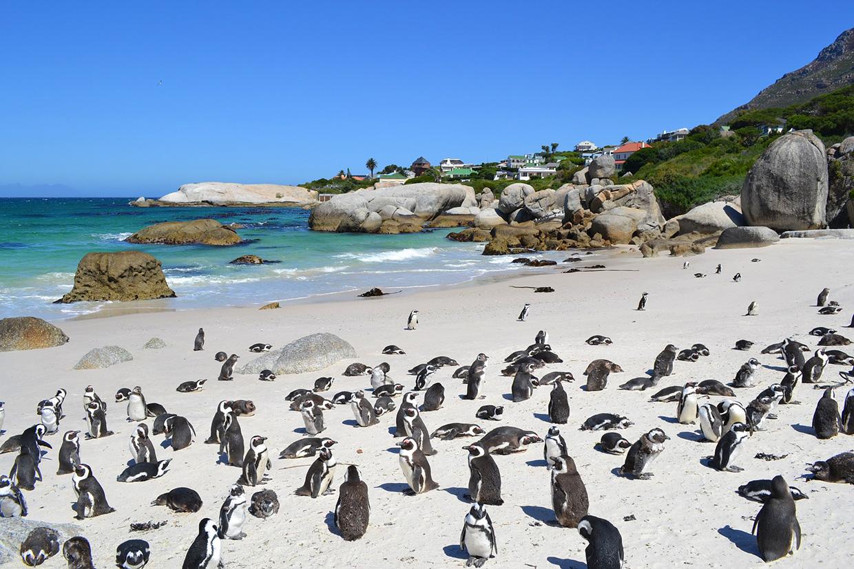 Пляж Болдерс с пингвинами в ЮАР