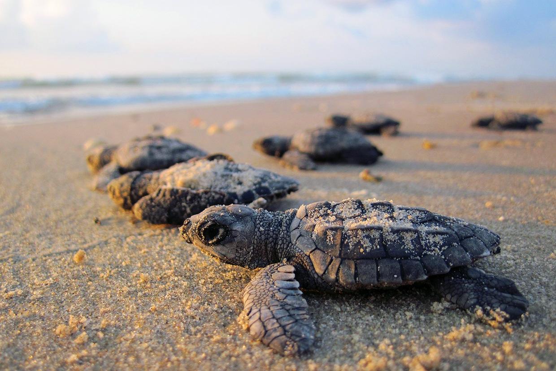 Пляж с черепашками в Мексике