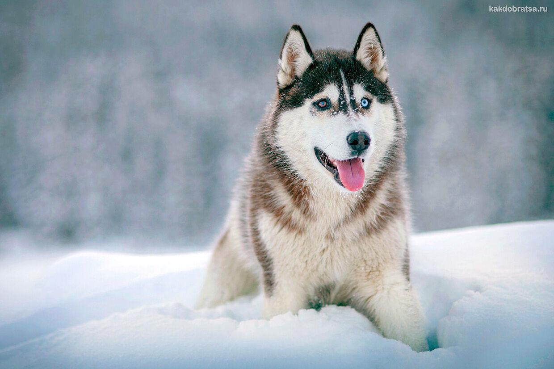 Питомник с ездовыми собаками Хасками в Карелии