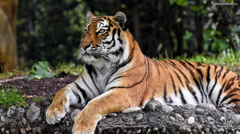 Тигровый зоопарк Сирача как добраться из Паттайи и Бангкока
